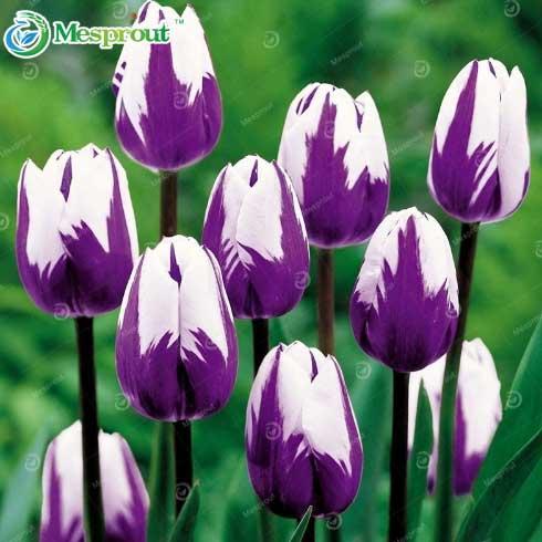 тюльпаны aliexpress алиэкспресс купить семена