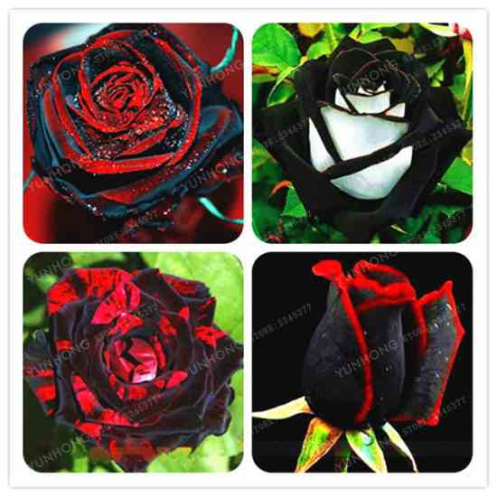 Семена розы Купить семена на Aliexpress